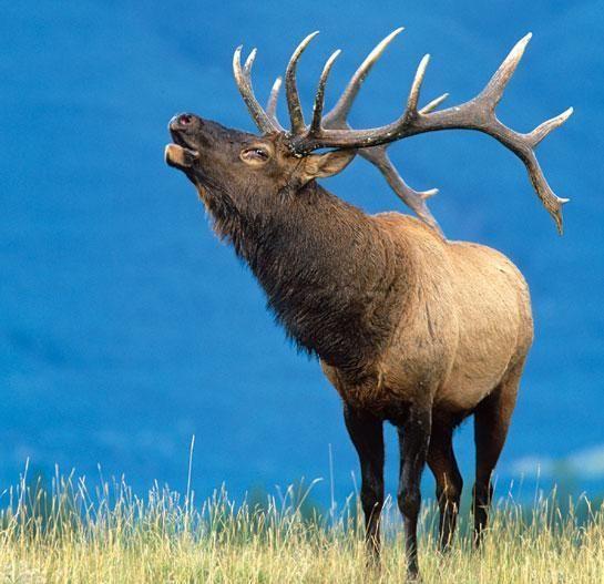 Elk Hunting: How to Bugle In October Bulls | Outdoor Life