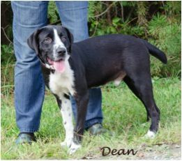 Dean is a handsome black lab mix. He is currently 9 months old and weighs about 45 pounds. This sweet boy can't wait to find his forever home. For more information, visit https://toolkit.rescuegroups.org/javascript/v2.0/template1?animalID=7724002&key=Mqr6gy1W