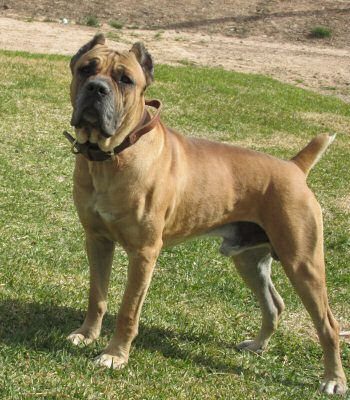 Cane Corso Breeder In Texas With Images Cane Corso Cane Corso Breeders Happy Dogs