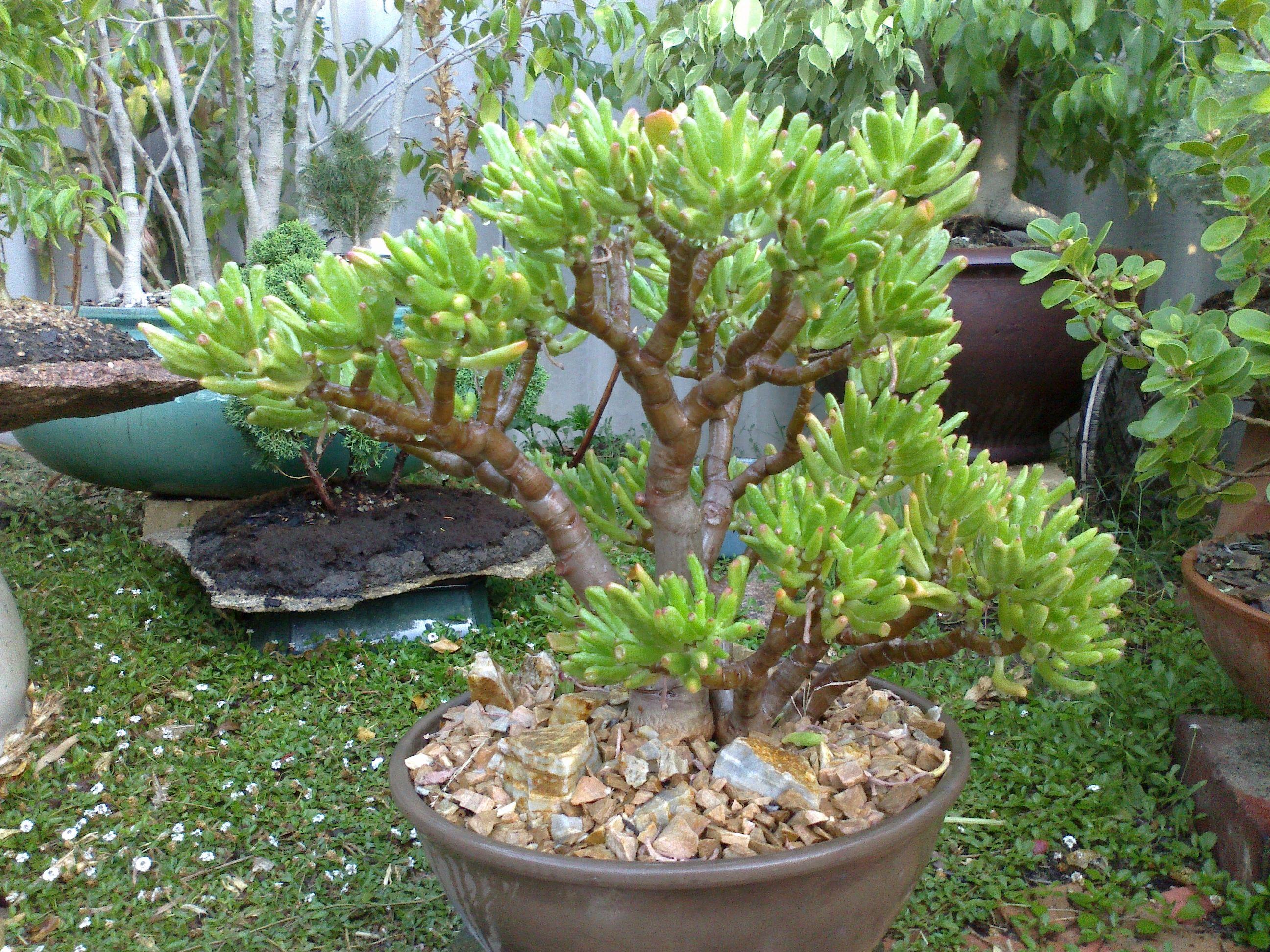 crassula 39 fine fingers 39 succulents and bonsai pinterest crassula ovata bonsai and plants. Black Bedroom Furniture Sets. Home Design Ideas