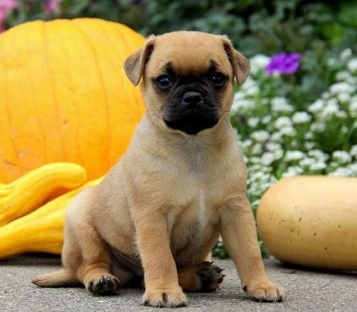 Cute Pug Cross Jack Russell For Sale in 2020 Pug mixed