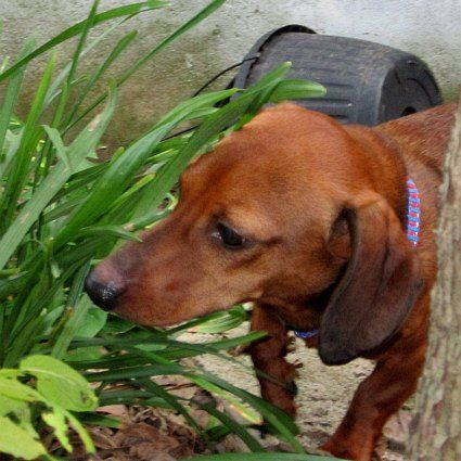 Dutchie PA dachshund available for adoption. The biggest