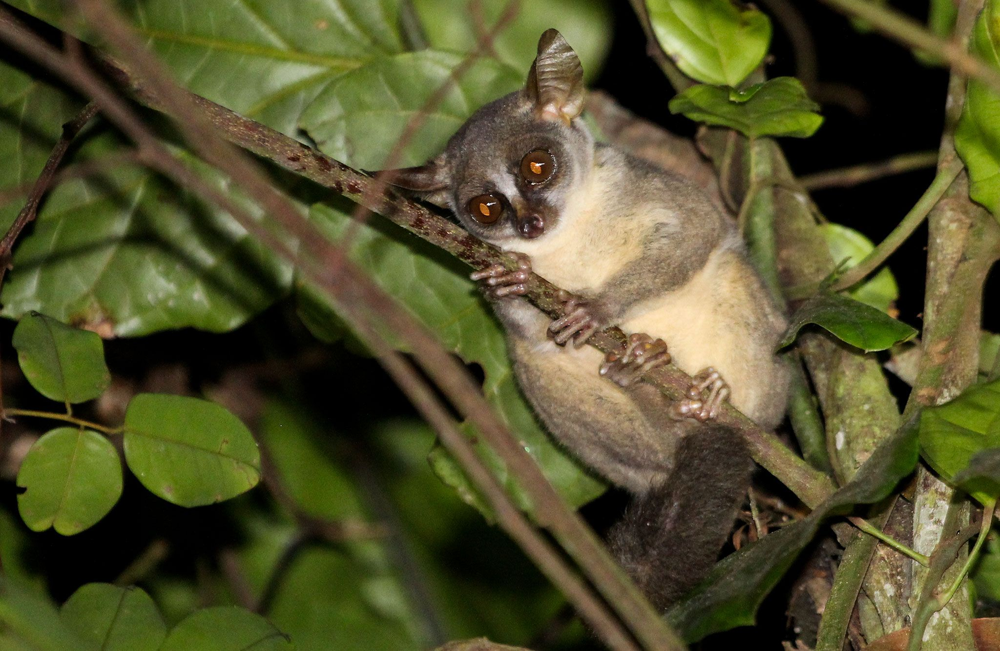 New Dwarf Primate Found, Is Giant Among Its Kin | Primates, Weird animals,  African wildlife