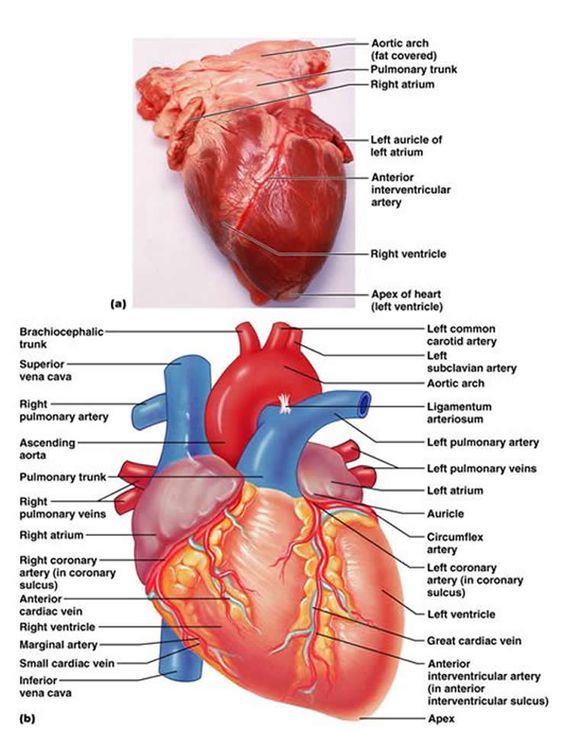 Heart Labeled W Veins And Arterys 076anatomy