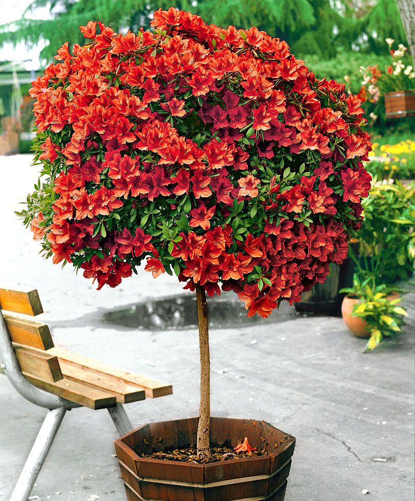 Standard Japanese Azalea Trees and Shrubs from Spalding