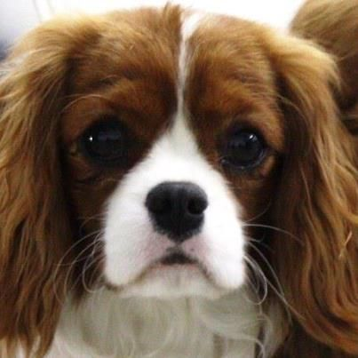 """""""The eyes are the window to the soul""""  Certainly true of Cavaliers <3"""