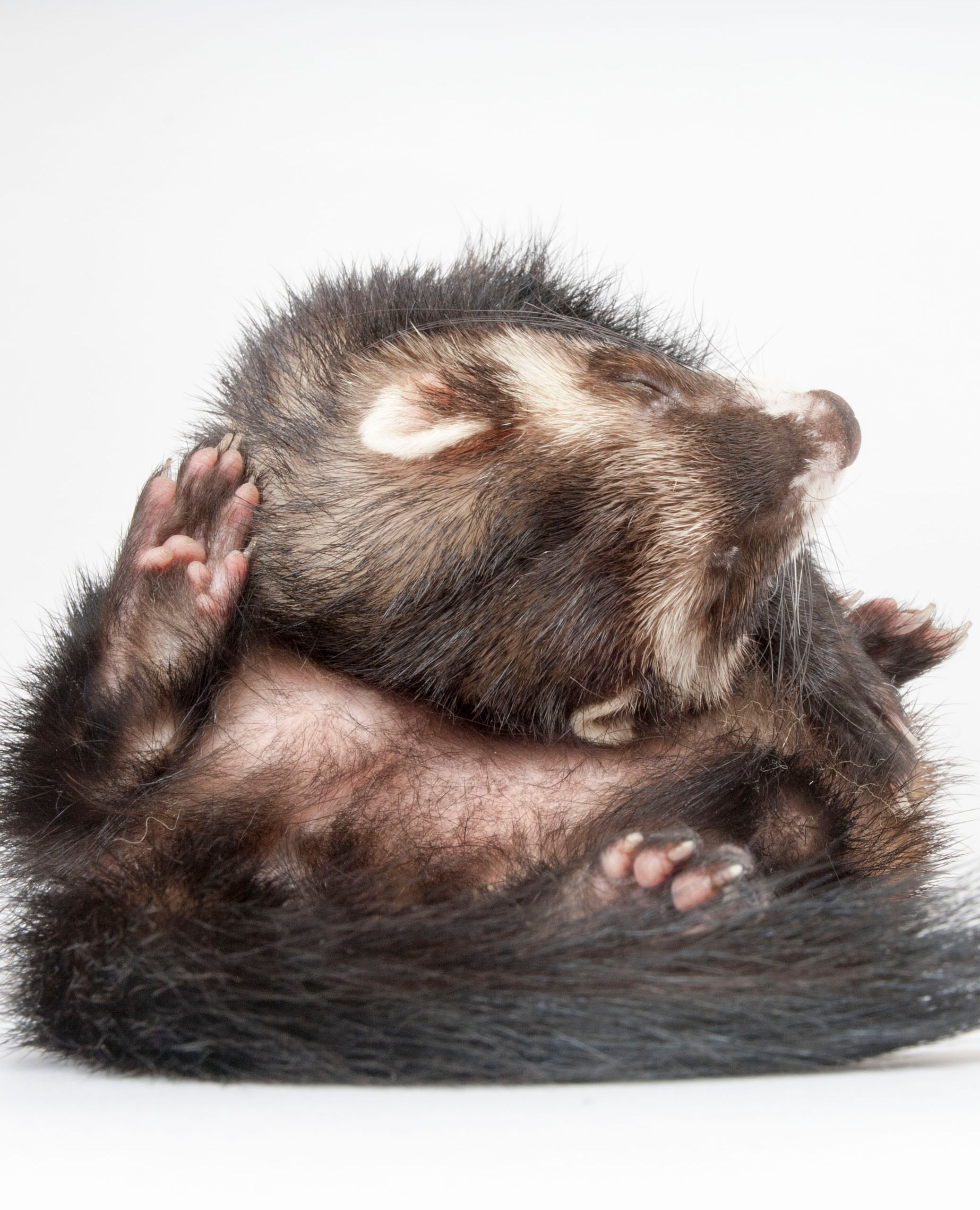 Advice on Ferret Photos in 2020 (With images) Baby