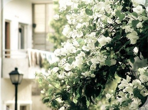 White bouganvillea- must aquire this for the fenceline.