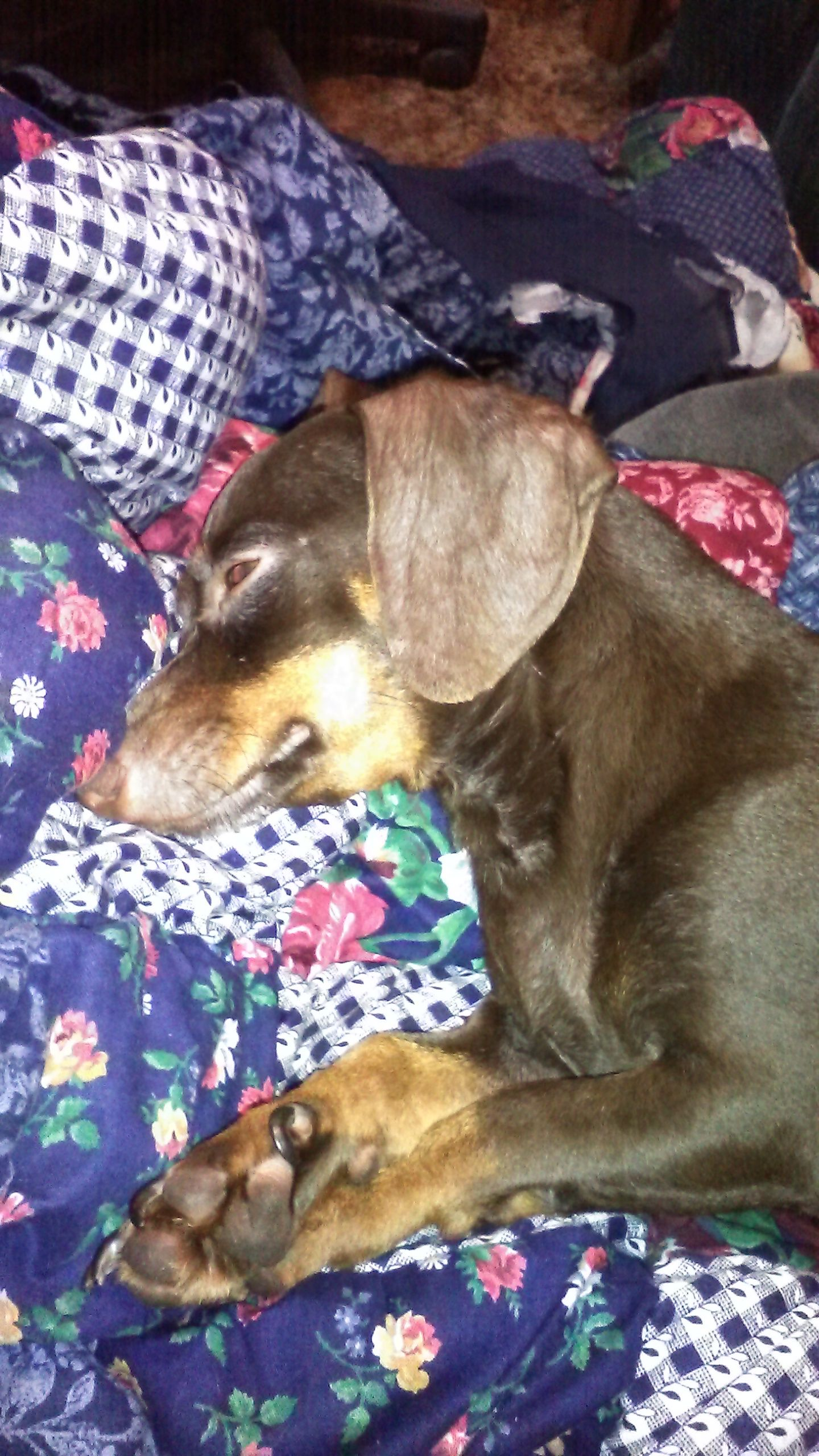Chiweenie Dog For Adoption In San Antonio Tx Adn 492641 On