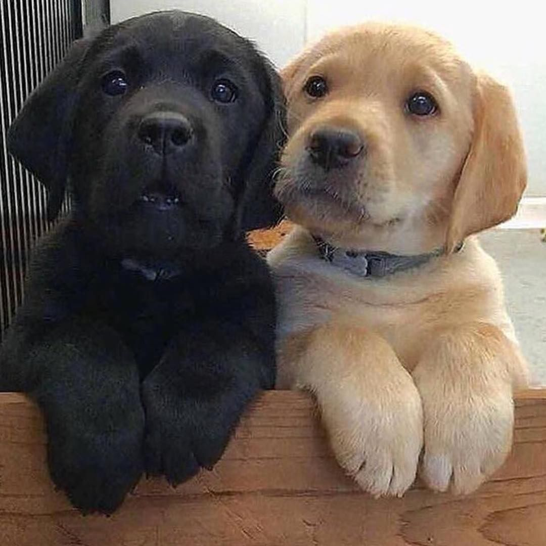 Insta Dog Chien Chiens Chiens Mignons Beaux Chiens Labrador Cocker Petit Chien Grand Chien Chien Chat Ch Dogs And Kids Cute Baby Animals Cute Labrador Puppies