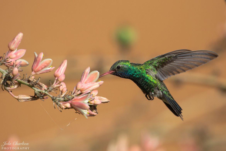 Arizona Birds, Hummingbird, Hummingbird photos