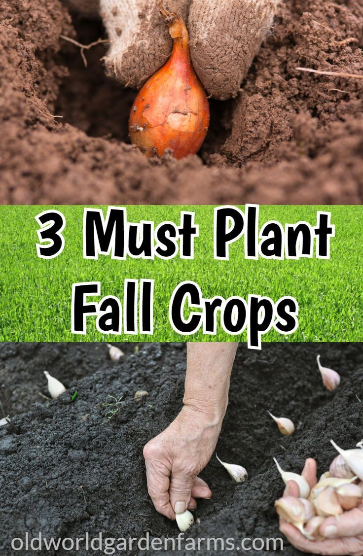 Our 3 Must Plant Fall Crops For The Garden - From Old World Garden