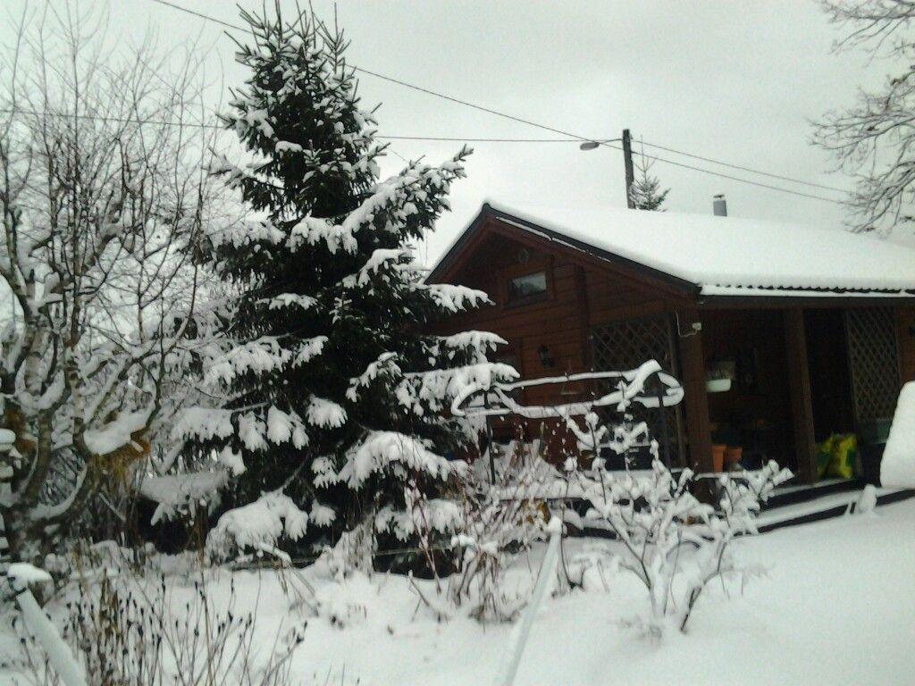 Pihamökkimme luminen siemenestä istutettu kuusi