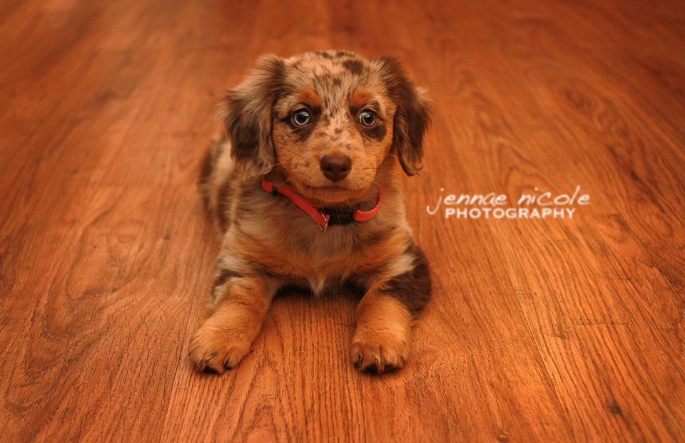 Australian Shepherd Dachshund Mix Such An Adorable Little Puppy