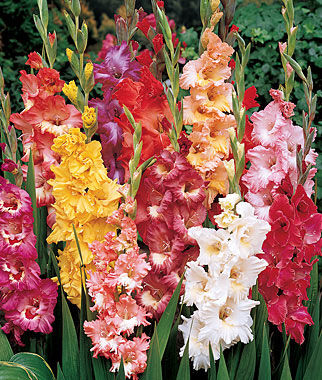 Fordhook Ruffled Pastel Mix Gladiolus Seeds And Plants Annual Flower Garden At Burpee Com Annual Flowers Blue Flower Arrangements Beautiful Flowers