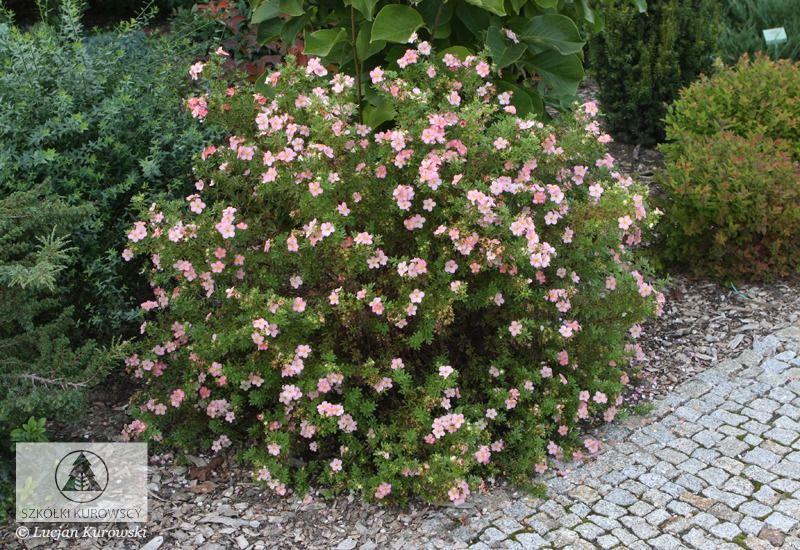 """Potentilla fruticosa """"Pink Beauty"""" / """"Lovely Pink"""" - hoogte na 10 jaar 60 cm - volle zon - bloei juni-september - na bloei iets terug snoeien - kan in het voorjaar flink worden teruggesnoeid - winterhard - bladverliezend"""