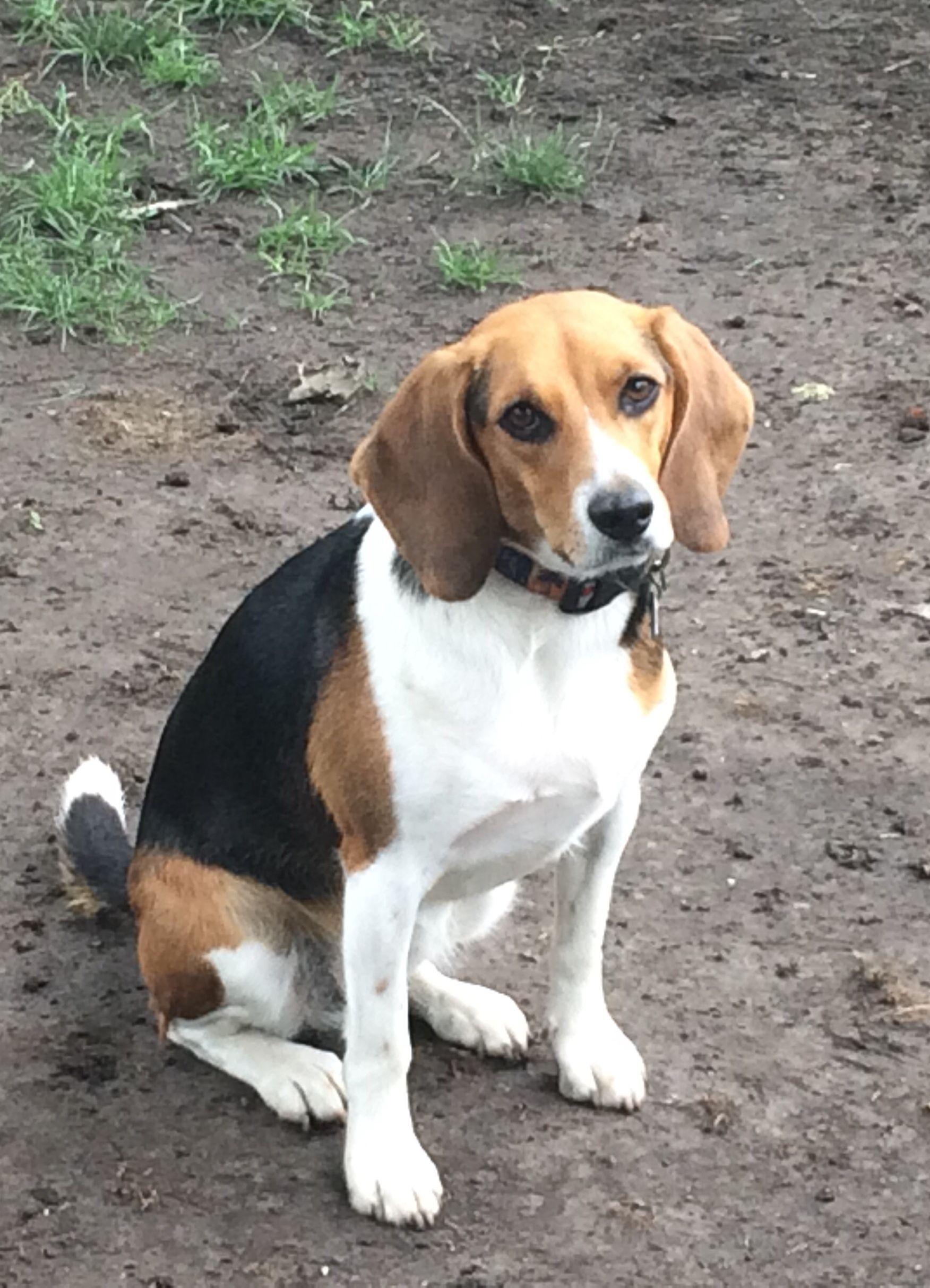 Pin By Rebecca Brockett On Beagles Corgi Beagle Dogs