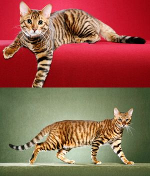 Toyger Price Personality Lifespan Toyger Cat All Cat Breeds