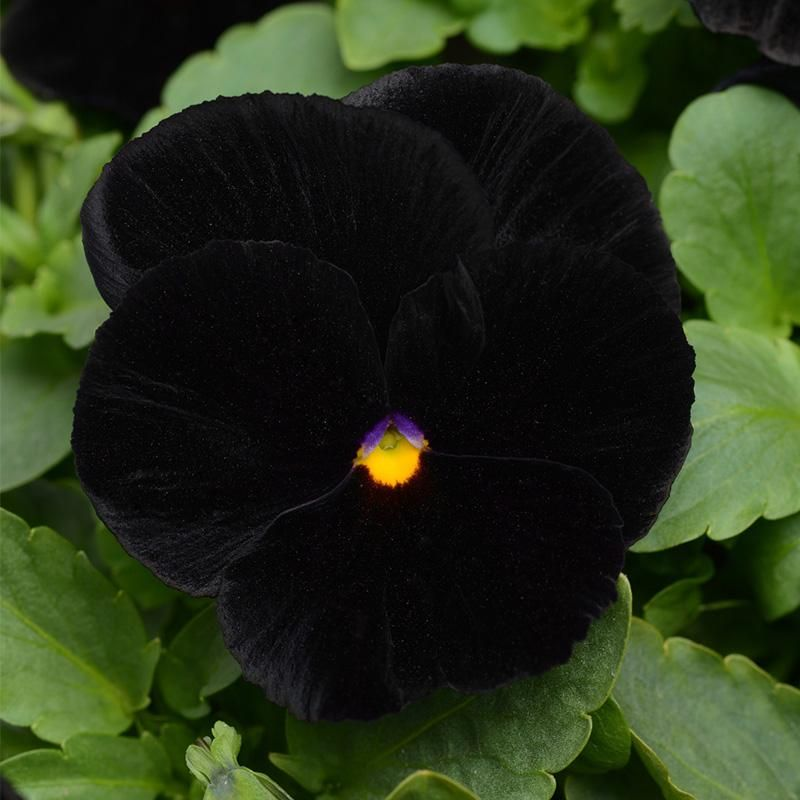Pansy Halloween Improved F1 Pansies Flower Seeds All Flowers