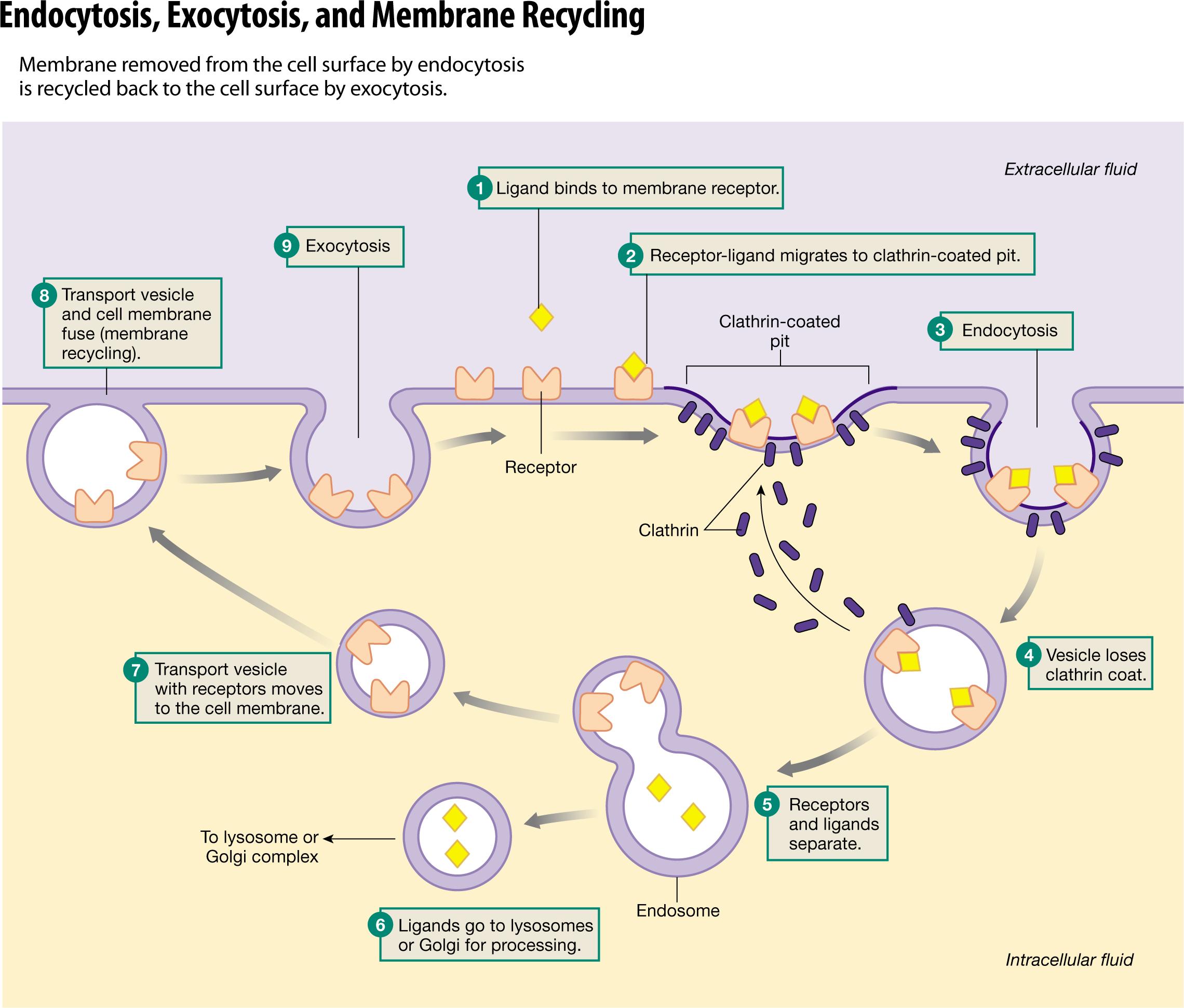 Vesicular Transport   Cell membrane, Extracellular fluid ...