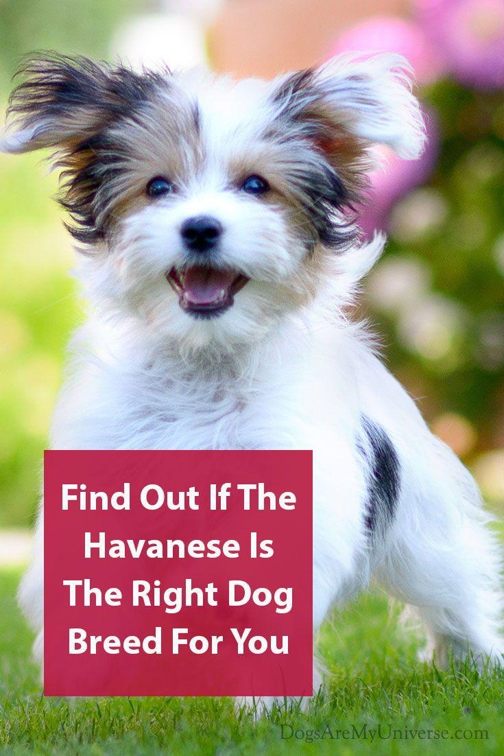 The Havanese Dog Breed Information Dog Breeds Dog Breeds Dogs