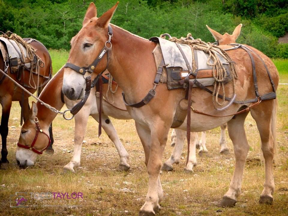 Pack mules. | Mules and Donkeys | Pinterest