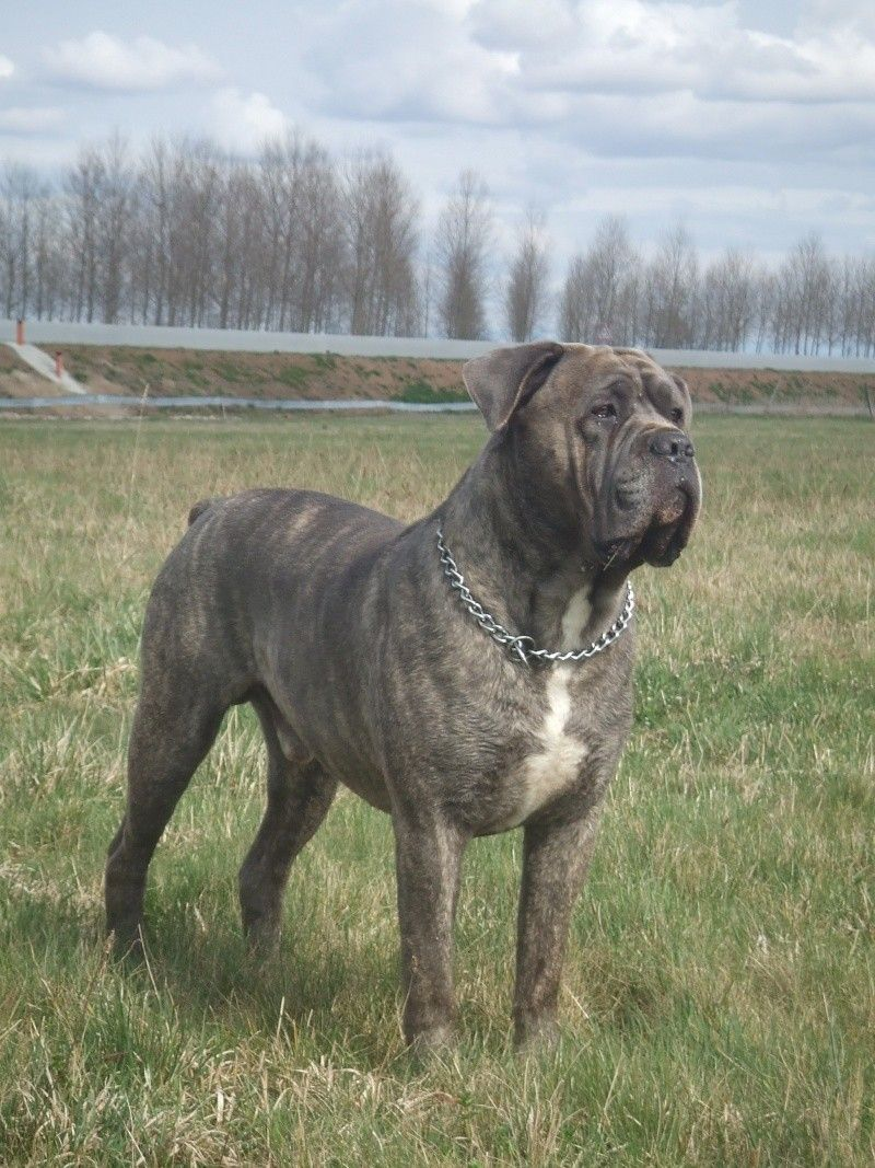 Cane Corso. I think I need one of these guys. Great build