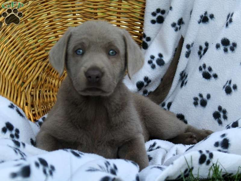 Dakota silver lab puppy for sale from kinzers pa