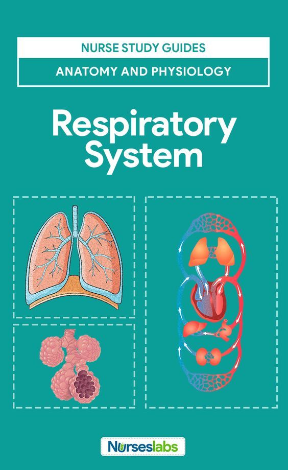 Respiratory System Anatomy and Physiology | Respiratory system