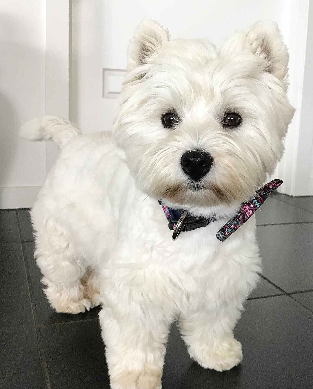 Otto The Heartthrob Westie My Chunky Paws Are Ready To Pawty