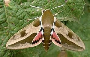 Hyles Euphorbiae Yahoo Image Search Results Schmetterling Motte