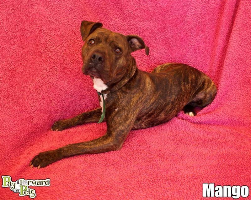 Adopt Mango On Dog Adoption Terrier Dogs Dogs