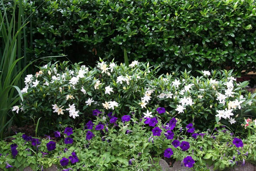 How To Grow Gorgeous Gardenias Outdoor Plants Gardenia Plant
