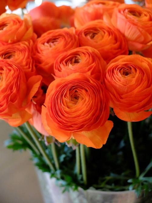ORANGE RANUNCULUS - Getting married in March? See our seasonal flowers board for a full list of flowers that are available for florists to buy in March for a Spring wedding. Whether you are planning a romantic, wild and natural bouquet or bright and vibrant table centrepieces - our month by month boards cover every possibility for every month be it Winter, Autumn or Summer! xx