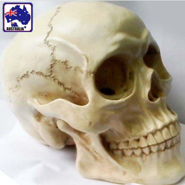 Human Skull Replica Resin Model Anatomical Medical Lifesize Skeleton GSKEL2301 in Health & Beauty, Medical, Mobility & Disability, Other Mobility & Disability | eBay