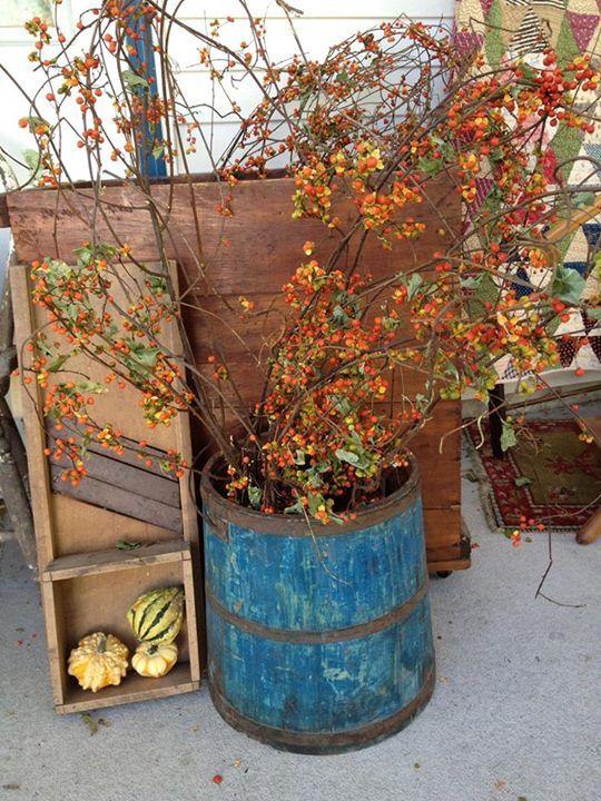 Bittersweet in a blue bucket - ah, fall...