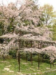 kyoto botanical garden (spring)