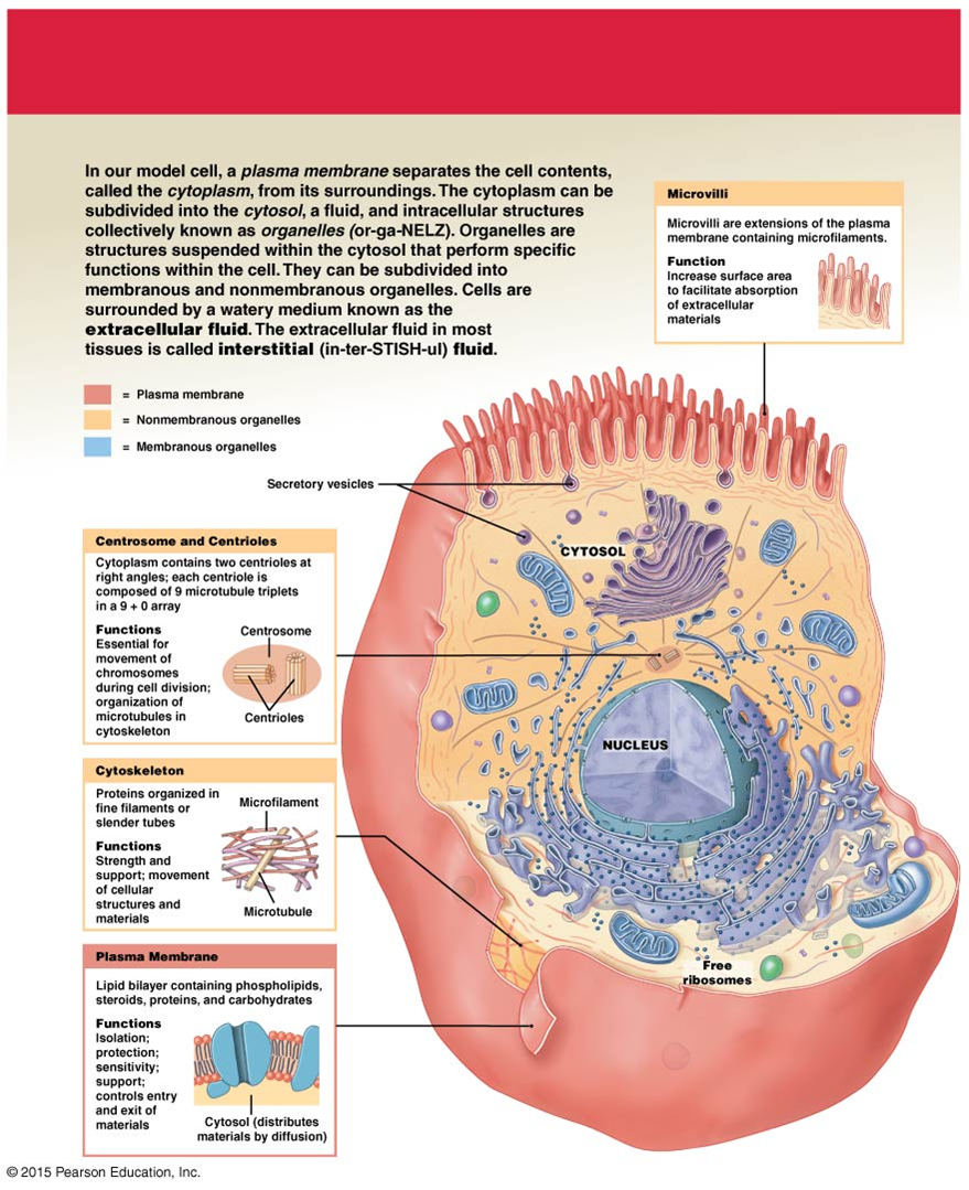 86b5a260f741cbc3cfe2e4efe5baebac the anatomy of a human cell anatomy and physiology diagrams