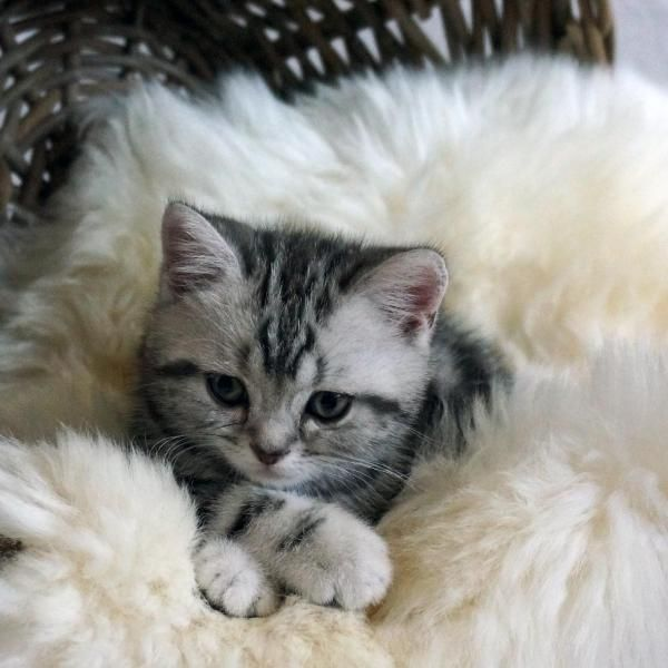 Here You Find Information About Bkh Kittens Like This One In