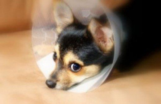 How To Care For Dogs After Spaying Surgery Vet Costs Pet Vet Pet Health Insurance
