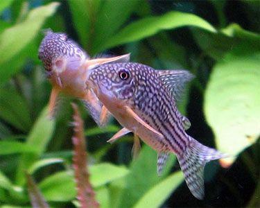 Sterba S Cory Cat Corydoras Sterbai Species Profile Sterba S Cory Cat Corydoras Sterbai Care Instructions Aquarium Fish Fresh Water Fish Tank Cool Fish