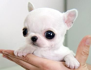 Omg These Are For Real Teacup Chihuahua Cute Baby Animals