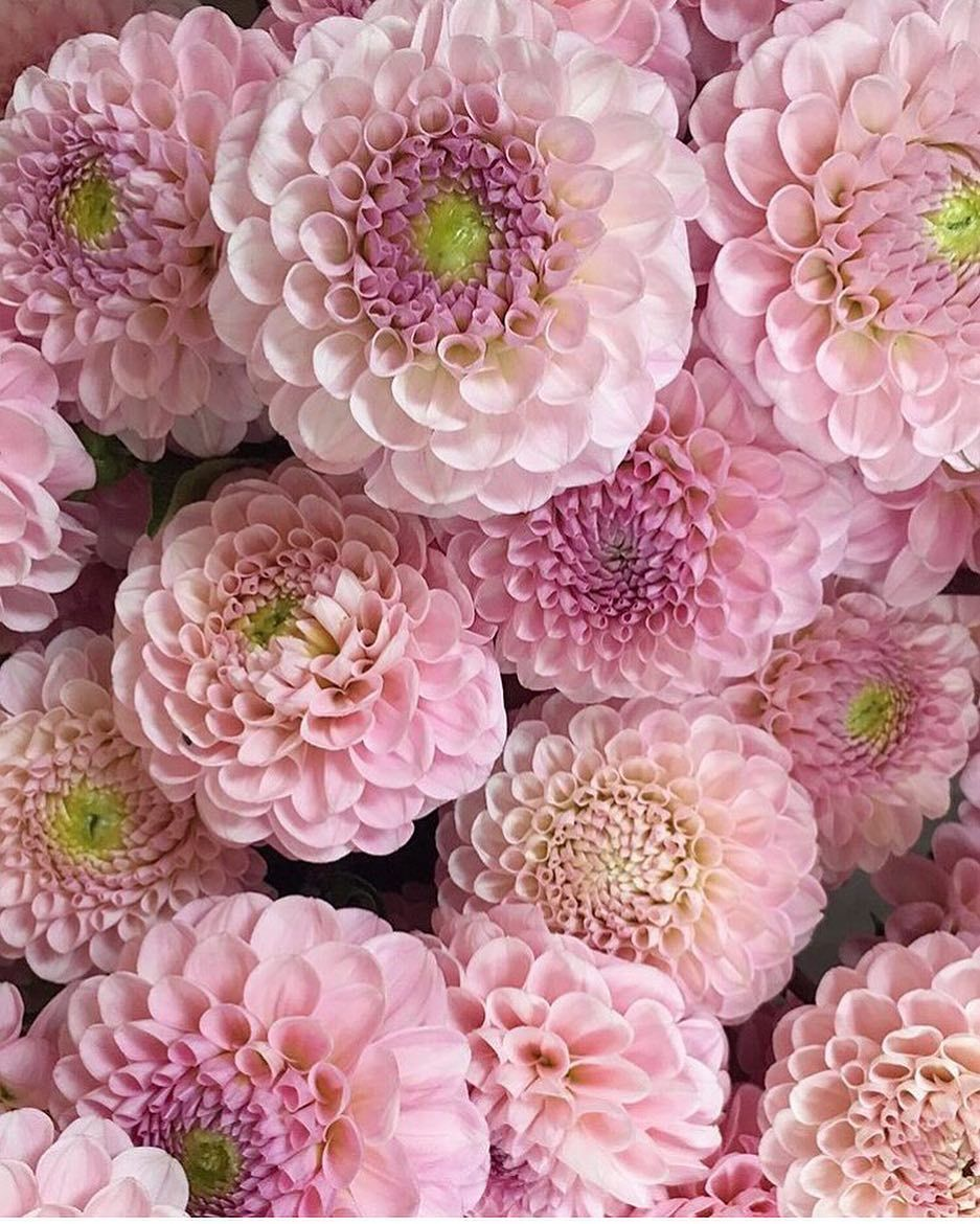 Very Pretty Pink Dahlias Courtesy Of The Lovely Steph At Fairynuffflowers Thank You So Much For Tak Pink Perennials Small Pink Flowers Beautiful Pink Flowers