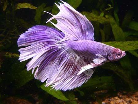 Purple Betta Fish | Siamese Male Fighter Moon Purple ...