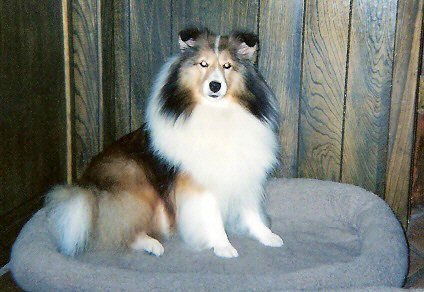 Sheltie Puppies Available In Texas At Stone Oak Shelties Sheltie