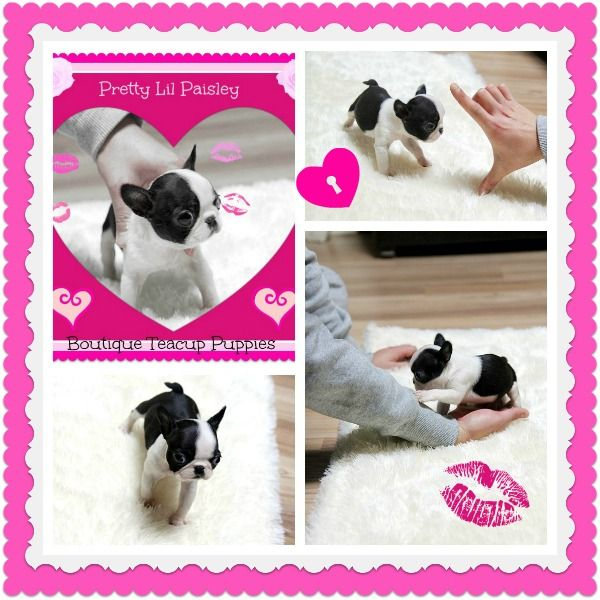 Paisley Mini French Bulldog Baby For Sale Teacup Puppies Cute