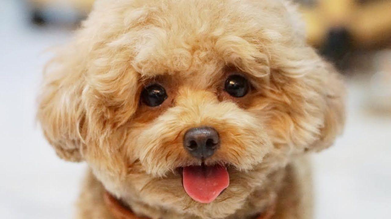 Standard Poodle Toy Poodle Poodle Puppy Funny Poodles