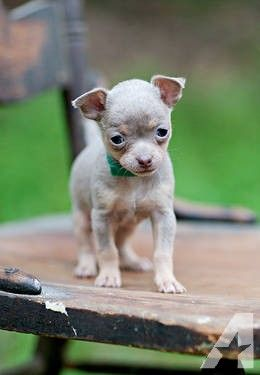 Tiny Silver Tan Chihuahua Puppies Chihuahua Puppies Puppies