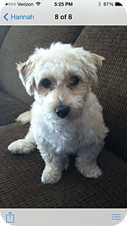 Bridgeport Ct Poodle Miniature Mix Meet Cody A Dog For
