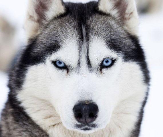 Siberian Husky Breed Jewelry Puppy Face Earring Studs Husky